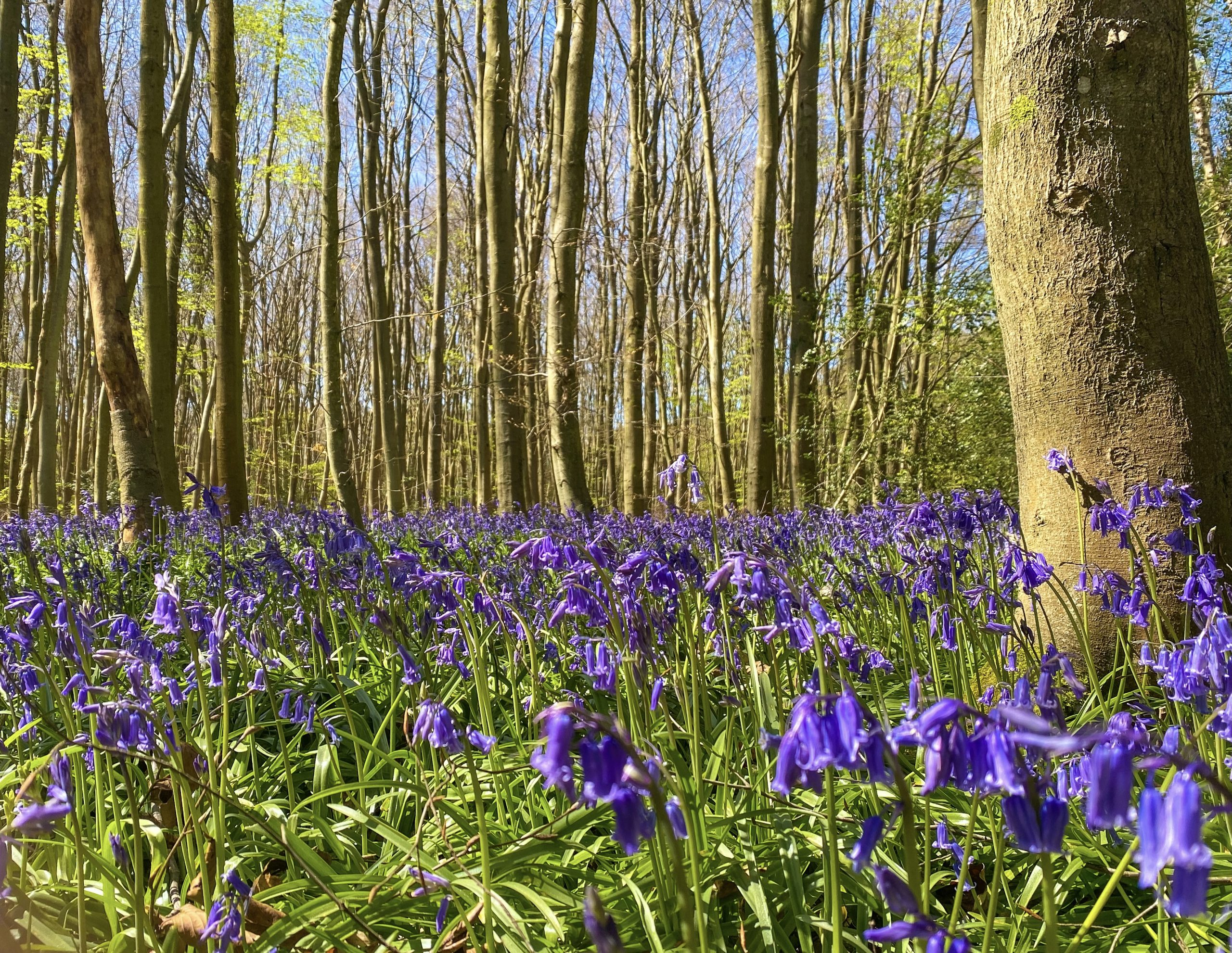 Bluebells in Philipshill Wood