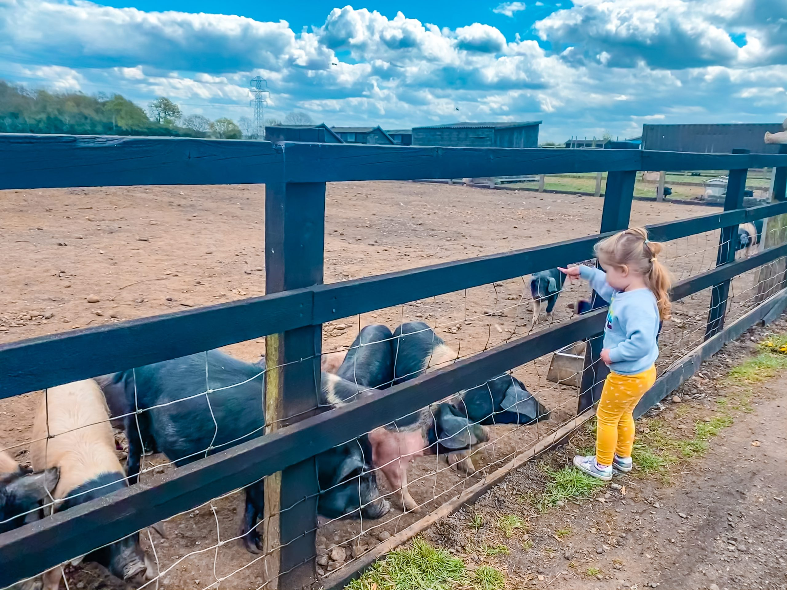 Feeding the pigs at Nathan's Farm